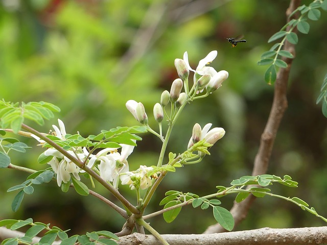 モリンガの木。妊活にはモリンガのハーブティーがおすすめ。成分、効果、飲み方や禁忌、注意点を説明します。