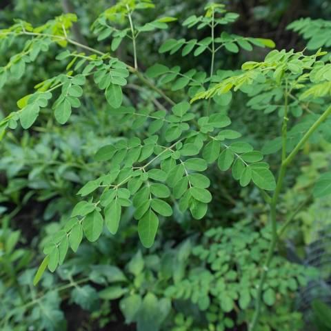 モリンガの葉。妊活におすすめの飲み方や禁忌、成分や効果について説明します。